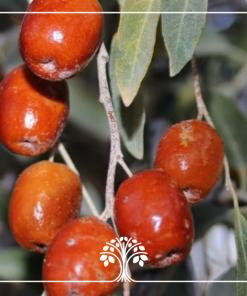 میوه درخت سنجد