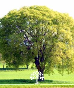 درخت داغداغان